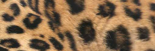 150902_artikkelikuvat_amurinleopardi_509x